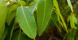 اثرات استفاده از پودر برگ و اسانس روغنی گیاه اکالیپتوس بر عملکرد رشد و پاسخ ایمنی در جوجه های گوشتی
